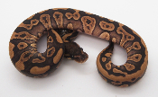 Static Cinnamon Mojave Female