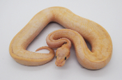 Highway Enchi Lemon Blast Female